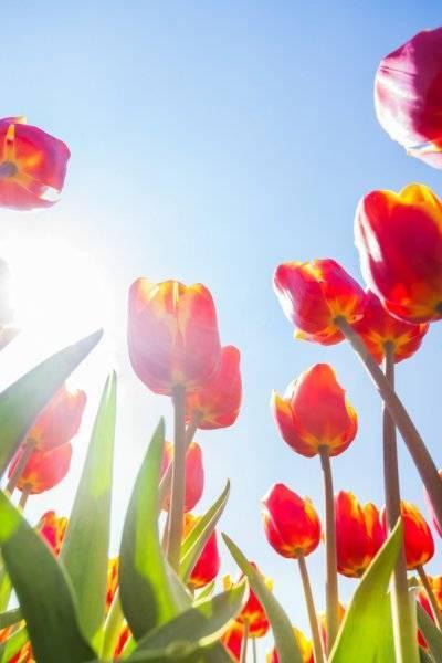 depositphotos_65886585-stock-photo-orange-tulips-in-sunshine.jpg