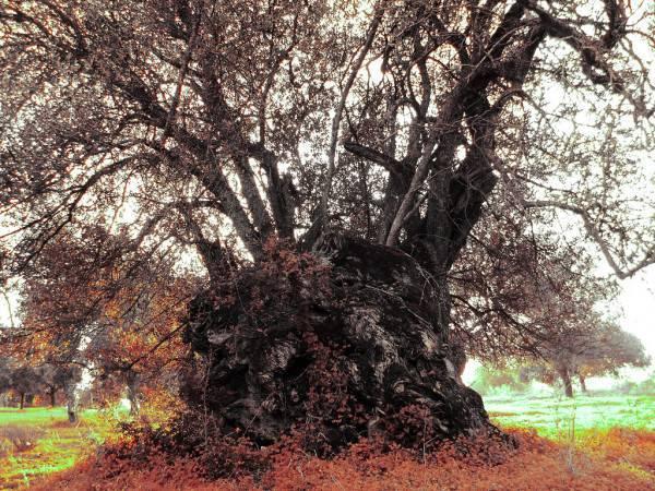 depositphotos_5253819-stock-photo-old-carob-tree.jpg